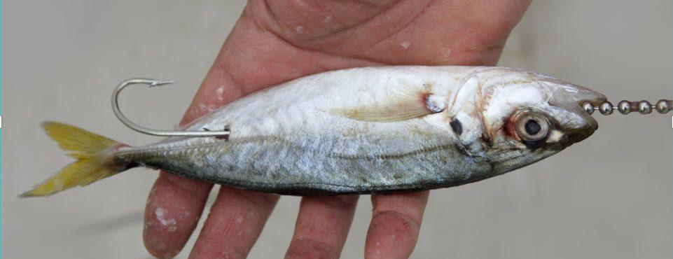 live bait vs lures - live bait