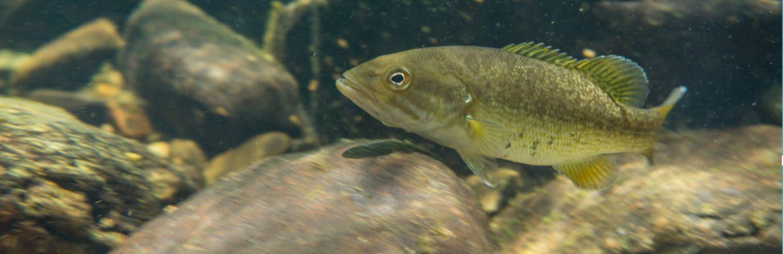 smallmouth bass fishing tips - smallmouth bass in rocks