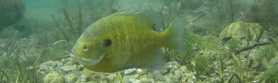 Best Bait For Largemouth Bass - Bluegill