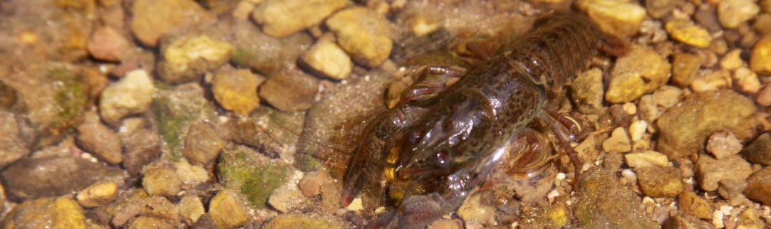 Best Bait For Largemouth Bass - Crayfish