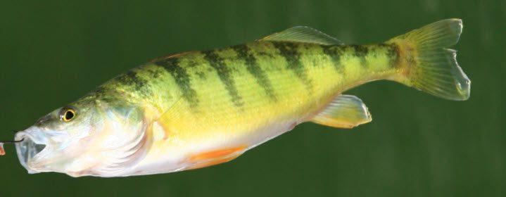 Best Bait For Largemouth Bass - Yellow Perch