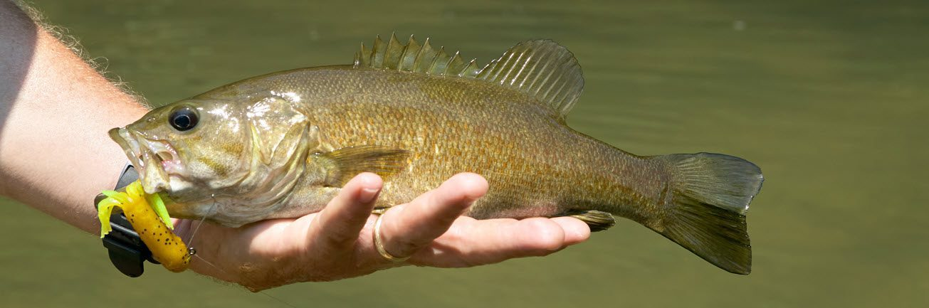 Smallmouth Bass - Caught with Lure