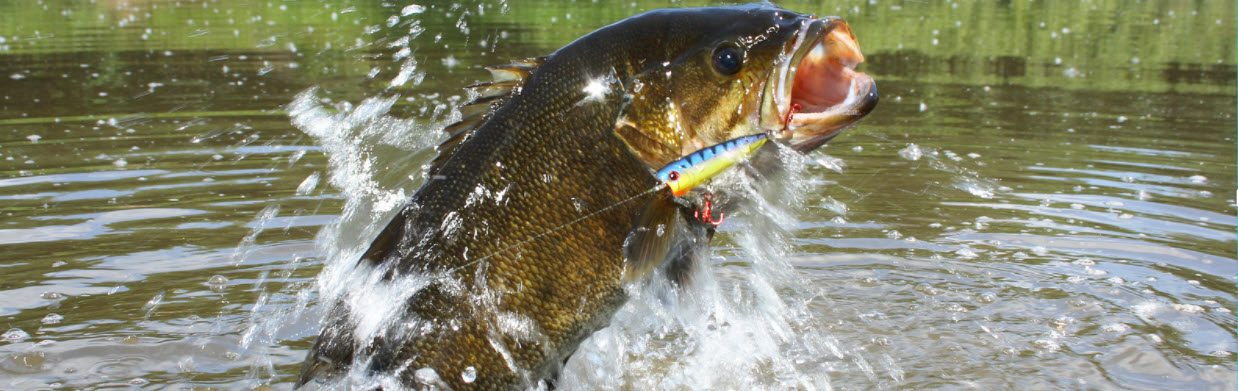 Smallmouth Bass - jumping out of water