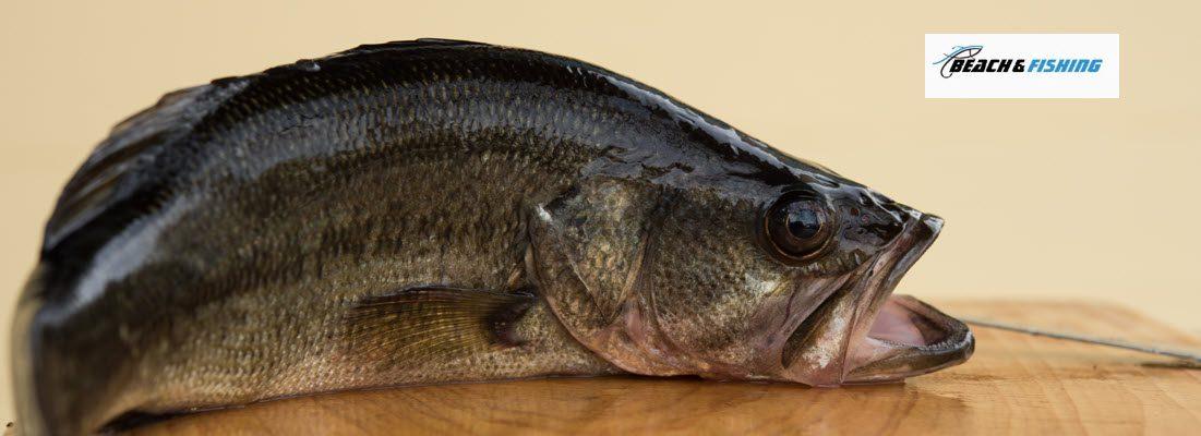 can you eat largemouth bass - header