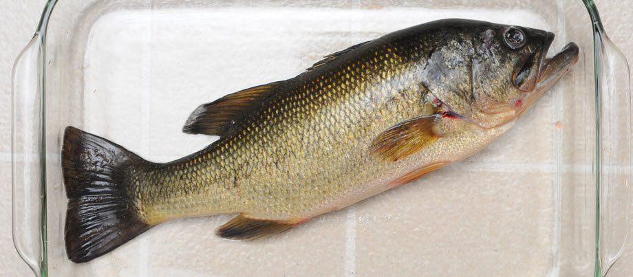can you eat largemouth bass - largemouth in glass dish