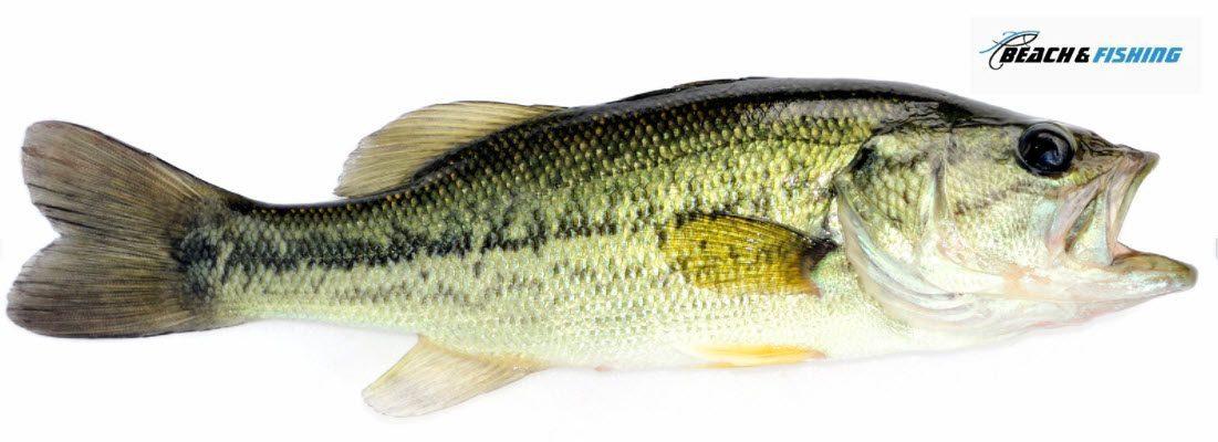 largemouth Bass - Header