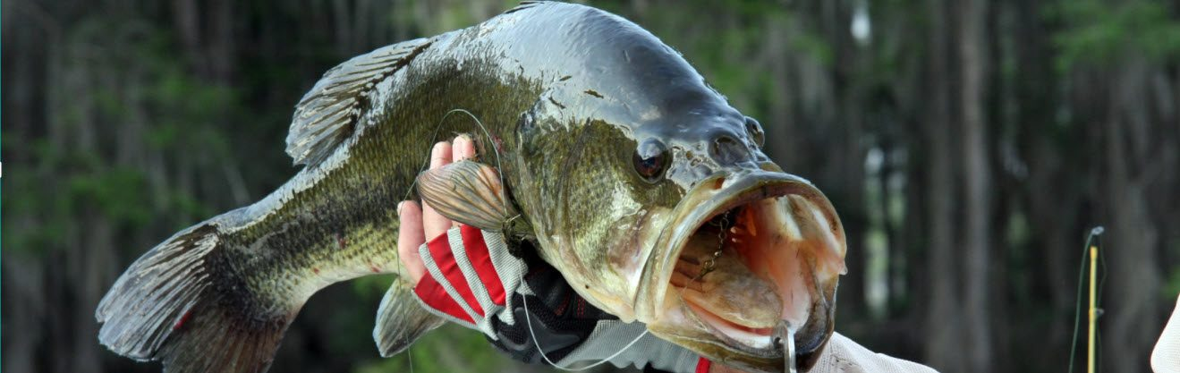 largemouth Bass - caught with lure