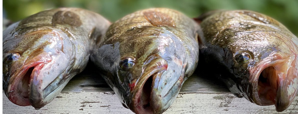 can you eat smallmouth bass - smallmouth bass on plate